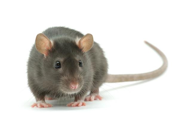 sanjati pacova
