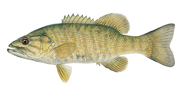 sanjati ribu