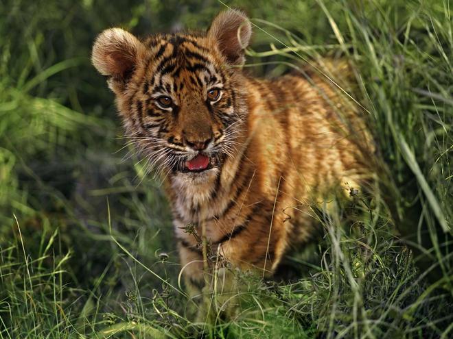 sanjati tigra